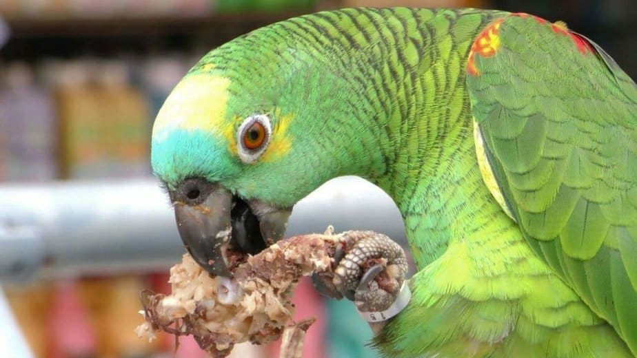 Can Parrots eat chicken