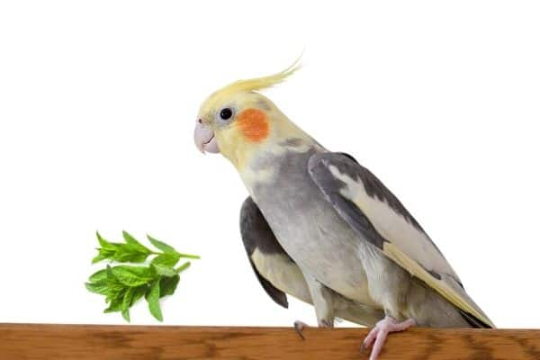 Can Cockatiels Eat Mint