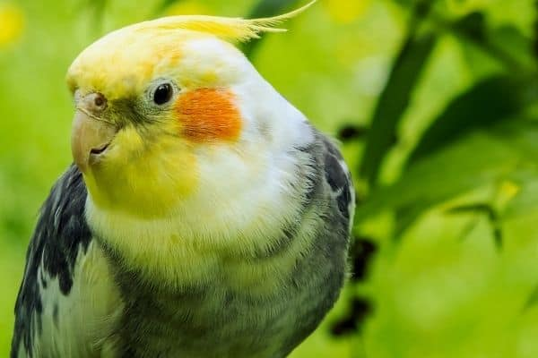 can cockatiels eat mint leaves