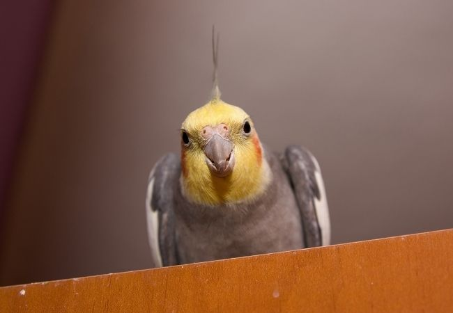 can cockatiels eat pumpkin seed