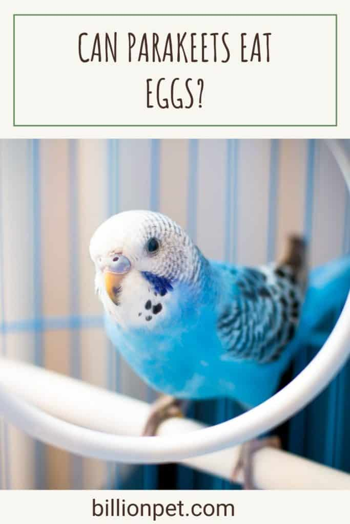 Can Parakeets Eat Eggs