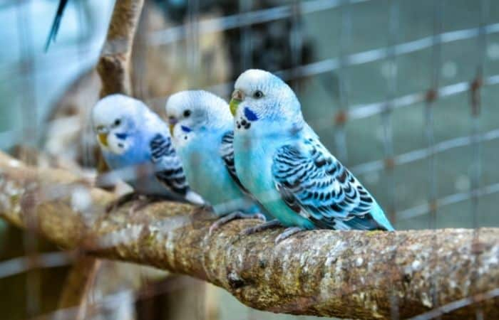 Why Do Budgies Fall Off Their Perch